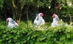 Sussex kippen