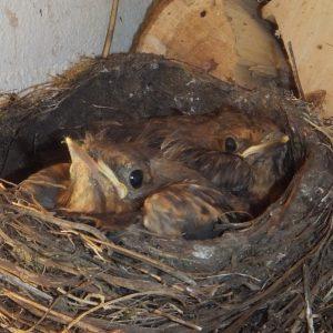 vogelnestje met 2 kuikens